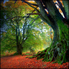 Autumn Beech (angus clyne) Tags: life road old blue autumn red wild sky orange haven black fern color colour tree green art fall nature yellow forest canon season landscape dead carpet death gold graffiti born scotland photo leaf moss big interesting oak ancient october perfect warm europe branch floor post earth path secret dream picture fork explore bark twig land huge trunk change bracken lichen bud colourful dunkeld root spiritual leafs mossy hdr sanctuary beech gnarled enchanted reborn leefilters angusclyne