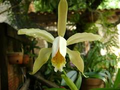 Orquídea 30