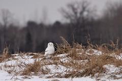 Snowy Mound (McGill's Nature in Motion) Tags: snowyowl owl raptor predator bird wildlife nature mcgillsnatureinmotion teresamcgill michigan