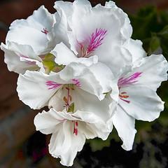 Blossom -25- (Jan 1147) Tags: blossom bloei bloem bloemen flower flowers natuur nature wit white outdoor buitenopname pelargonium lovendegem belgium