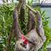 Hoffmann's two-toed sloth Gamboa Wildlife Rescue pandemonio 2017 - 33