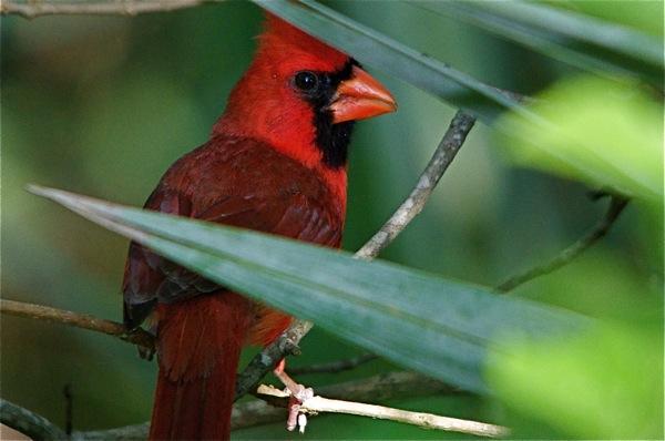 cardinal_behind_0133