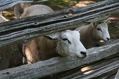 Sheep (gittingsc) Tags: sheep mountsberg baa
