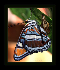 ~~~The Most Beautiful Butterfly I Have Ever Seen~~~ (~~~Gasssman~~~) Tags: won wmp mywinners abigfave magicofaworldinmacro theunforgettablepictures theperfectphotographer vosplusbellesphotos beyep