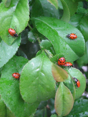how to kill aphids on a rose bush