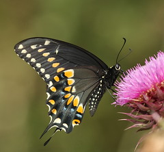 Black Swallowtail (DrPhotoMoto) Tags: butterfly nc side richmondcounty papiliopolyxenes ventral qualitygold