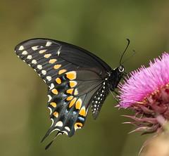 Black Swallowtail (DrPhotoMoto) Tags: blue orange black yellow butterfly nc side northcarolina swallowtail papilio richmondcounty papiliopolyxenes papilioglaucus troilus ventral papiliotroilus eyespot qualitygold