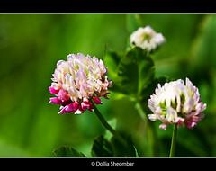 Wild Flower   ::Macro (DolliaSH) Tags: wild flower macro explore naturesfinest explored canoneos50d dollia dollias sheombar