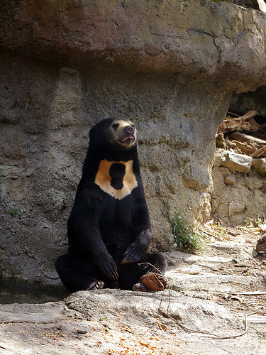Sunbear in the Wellington Zoo