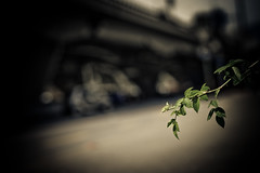 Petite rose (Gabriel Asper) Tags: street gabriel de landscape switzerland la photo suisse geneva geneve photos g picture paysage rue pict genve dans ambiance genf asper suiss gasper gabiche gabicheminimal