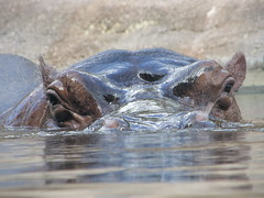 Head on Hippo