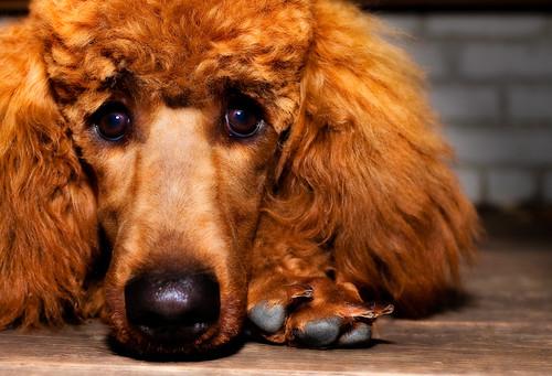 フリー画像|動物写真|哺乳類|イヌ科|犬/イヌ|スタンダード・プードル|フリー素材|