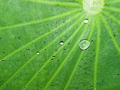 Dew Drops on Lotus Leaf  (olvwu | ) Tags: morning plant flower field grass leaf drops pond lotus bokeh farm taiwan dew droplet crops ntu taipei bud lotusflower nelumbonaceae taipeicounty nelumbo sindian jungpangwu oliverwu oliverjpwu nelumbonucifera ntufarm proteales nelumbonuciferagaertn olvwu eastindianlotus sindiancity jungpang ntuangkangfarm
