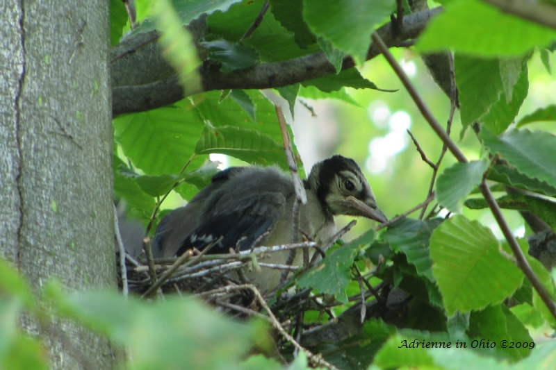 bluejay nestling photo by Adrienne Zwart