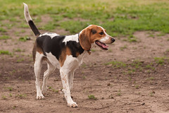 Gallery For > Beagle Foxhound Mix