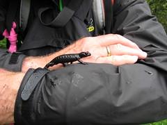 img_7352 Alpine Salamander