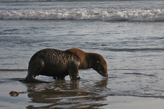 5 of 5 Distressed Sea Lion Pup Morro Strand (mikebaird) Tags: california sea abandoned beach water strand mammal bay sand lion seal morrobay pup sealion distressed morro injured morrostrand californiasealion motherless malnurished 29june2009