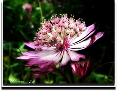 PINK PIN CUSHION (♥ Katie ann. Off more than on.) Tags: soe bestofthebest blueribbon masterphotos perfectpetals shieldofexcellence ultimateshot coloursonblack flowersandcolors naturewatching theunforgettablepictures shutterbox brillianteyejewel thekeyofmymind goldsealofquality betterthangood goldstaraward thepoweroftheflower masterflower mimamorflowers auniverseofflowers theperfectpinkdiamond floresymasflores dragondaggerawards empyreanflora angelawards zuzkasfaves flickrclassique hablahispana superbmacroawards lasorquideasymargaritasdaisiesorchids abovealltherestandsimplythebest oreaanthi
