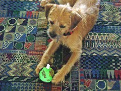Toby looking forward (kiara.c.t.s.<3) Tags: toby dog green ball mix border terrier greenball borderterriermix