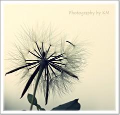 Taking off..... (Ryan&Remus) Tags: flower macro canon singapore bokeh 100mm dandelions 500d canon500d ryanremus tampinesmacro kmryanremus photographybykm