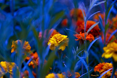 Flower (a2roland) Tags: norman zeb a2roland a2rolandyahoocom scene flickr flower flowers blue yellow purple orange red grass leaves lawn yard bouquet bunch monmouth nj © photography all rights reserved