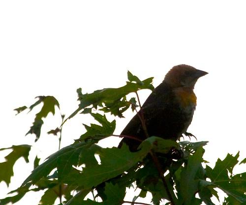 YH Blackbird