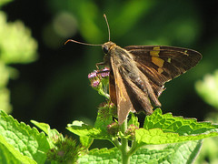 Silver-spotted Skipper (Carole Sevilla Brown) Tags: butterfly skipper butterfliesandmoths broadwingedskipper