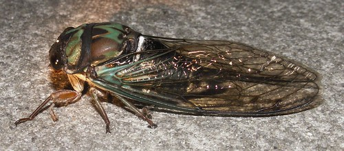 Coastal Lyric Cicada, side view