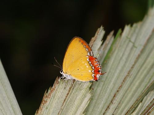 你拍攝的 紅邊黃小灰蝶。