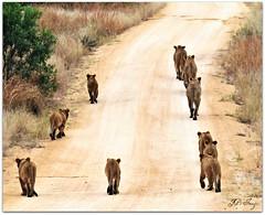 kruger pride (Natureshots.JP) Tags: bigfive flickrbigcats