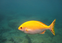 Yellow Fesh (radmegan) Tags: blue fish yellow dinner swim oahu snorkeling underwaterphotography fesh complimentarycolors