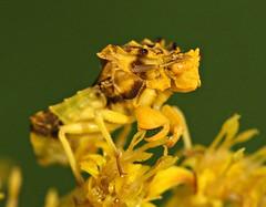 Ambush Bug (DrPhotoMoto) Tags: northcarolina truebugs richmondcounty reduviidae notyournormalbugmacrolifeanawesomeshotassassinbug