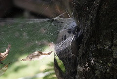 (Lproduction.) Tags: leaves spiders earthy spiderwebs