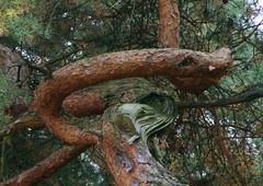 Snake tree (j.elemans) Tags: holland tree nature dutch nijmegen sony boom gelderland a300 platinumphoto