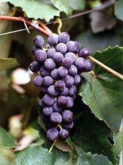 FPM117 Uva, variedade Concord (Fernando Picarelli Martins) Tags: frutas uva grape riograndedosul vitislabrusca sucos variedadeconcord