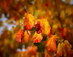 Ah! Autumn. (algo) Tags: autumn trees leaves photography interestingness topf50 searchthebest topv1111 topv999 explore algo topf100 frontpage topv666 parrotia persica explorefrontpage explore22 persianironwood saariysqualitypictures