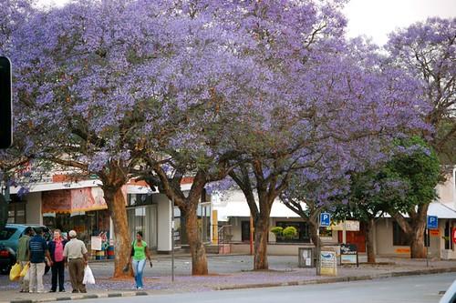 jacaranda lined streets