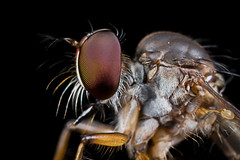IMG_1610web (Kurt (orionmystery.blogspot.com)) Tags: nature bug insect fly wildlife robberfly predator robber diptera orionmystery upclosewithnature