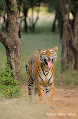 ADS_000005811 (dickysingh) Tags: wild india animal mammal outdoor wildlife tiger bigcat aditya predator ranthambore singh ranthambhore dicky flehmen scentmarking adityasingh ranthamborebagh theranthambhorebagh wwwranthambhorecom