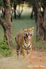 ADS_000005811 (dickysingh) Tags: wild india animal mammal outdoor wildlife tiger bigcat aditya predator ranthambore singh ranthambhore dicky flehmen scentmarking adityasingh ranthamborebagh theranthambhorebagh wwwranthambhorecom