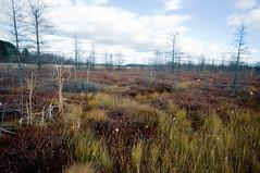 Mer Bleue Scrub (FastTrackPhoto (Quantis)) Tags: trees sky grass clouds peat bog