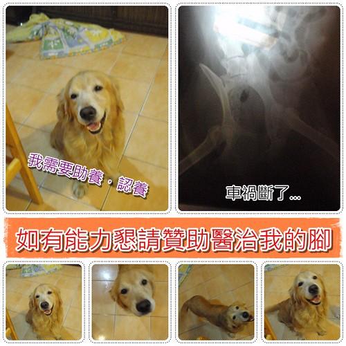 20091104「徵醫療資源+認養」北縣土城於基隆拾獲跛腳又流浪的黃金獵犬LULU小姐~誠徵助養和醫療資源,最好是直接認養,能省下中途費用可以用來醫治他的斷腳