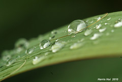 Rain Drops 6177e (Harris Hui (in search of light)) Tags: greenleaves canada blur macro reflection green water beauty leaves rain closeup vancouver drops dof bc crystal bokeh richmond urbannature raindrops jewels waterdrops upclose amateur mundane macrolens macrophotography closerandcloser beautifulgreen sigma150mmmacro fujis3pro beautyinthemundane raindropsonleaf worldofmacro picturesathome beautyineveryday tinywaterdrops worldofwaterdrops nonstoprain weekendpictures harrishui vancouverdslrshooter worldofsmallthings jewelsonleaves picturesatmyfrontyard jewelsfromheaven beautyintheordinaryobjects
