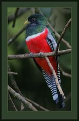 Collared Trogon (Trogon collaris) (Rainbirder) Tags: tobago specanimal trogoncollaris collaredtrogon avianexcellence taxonomy:binomial=trogoncollaris rainbirder