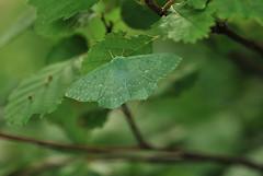 Hiidvaksik; Geometra papilionaria; Large Emerald (urmas ojango) Tags: lepidoptera liblikalised insecta insects putukad moth vaksiklased nationalmothweek geometridae