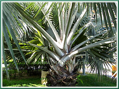 Bismarckia nobilis (Bismarck Palm, Bismark Palm), with focus on old leaf bases and petioles