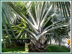 Bismarckia nobilis (Bismarck Palm, Bismark Palm), with focus on old leaf bases and petioles