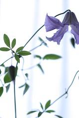 FLOWER #111 Clematis (Mihoko Ozaki) Tags: macro canon eos dof clematis