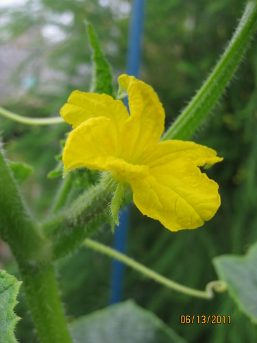 cucumber flower, female