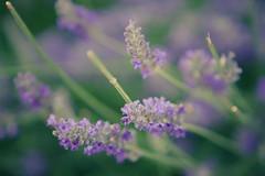 lavender bokeh (imageneer) Tags: plant nature canon eos bokeh lavender alcala alcaladehenares 2470mm 40d